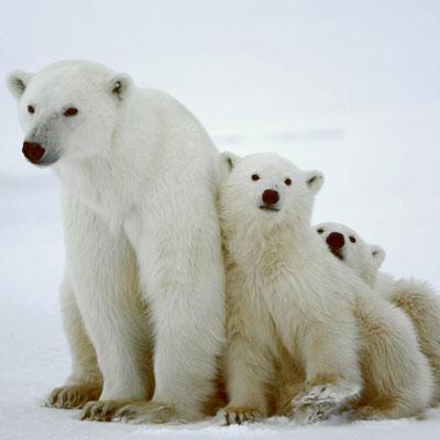 Ours polaires et réchauffement climatique